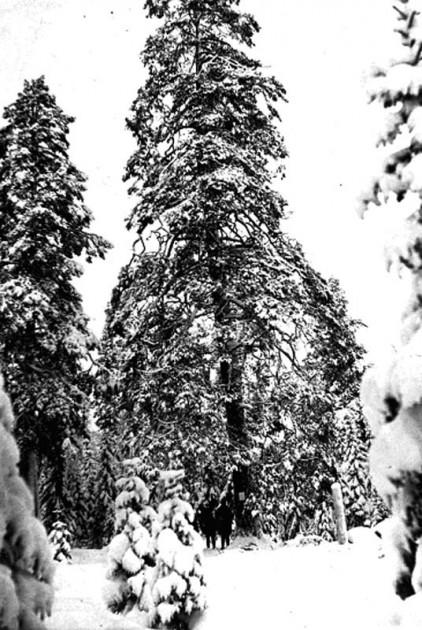 Björntallen på Ulvviks kronopark.